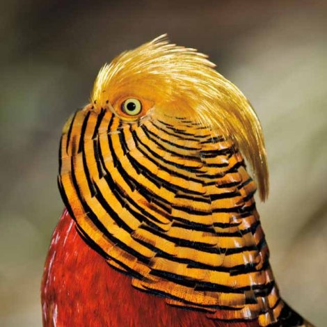Golden Pheasant Detail